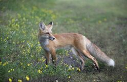 Red Fox Poses For Camera