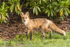 Red Fox Vixen Alert for Danger. Female adult red cox alert to her surroundings Royalty Free Stock Photography