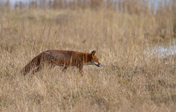 Red Fox. A Vixen in Dry Meadow Royalty Free Stock Photography