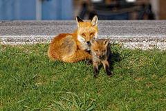 Red Fox Vixen and Kit Stock Images