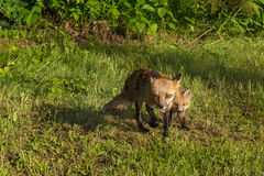 Red Fox Vixen and Kit (Vulpes vulpes) Runs Forward Stock Photo