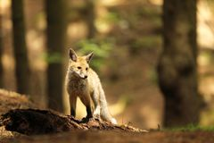 Red fox vixen stay on log - Vulpes vulpes Royalty Free Stock Image