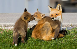 Red Fox Vixen and Two Kits royalty free stock photos
