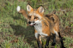 Red Fox Vixen (Vulpes vulpes) Closeup with Kit in Background Royalty Free Stock Photos