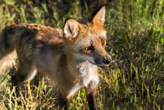 Red Fox Vixen (Vulpes vulpes) Closeup Looking Right Stock Image