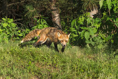 Red Fox Vixen (Vulpes vulpes) Creeps out of Woods Stock Photos
