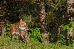 Red Fox Vixen (Vulpes vulpes) on Edge of Woods Stock Image
