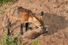 Red Fox Vixen (Vulpes vulpes) Grabs Hold of Kit Royalty Free Stock Images