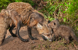Red Fox Vixen (Vulpes vulpes) Greets her Kit Stock Images