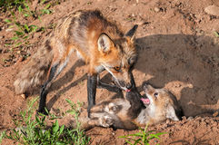 Red Fox Vixen (Vulpes vulpes) Holds Down Misbehaving Kit. Captive animal Royalty Free Stock Photo