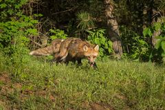 Red Fox Vixen Vulpes vulpes and Kit Come Out of Woods Royalty Free Stock Image