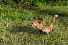 Red Fox Vixen (Vulpes vulpes) and Kit Run Left Stock Photography