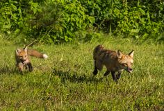 Red Fox Vixen Vulpes vulpes and Kit Run Out of Woods Royalty Free Stock Photo