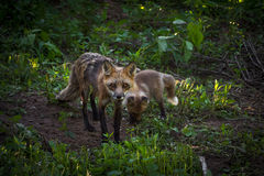 Red Fox Vixen Vulpes vulpes and Kit in Woods Royalty Free Stock Photos