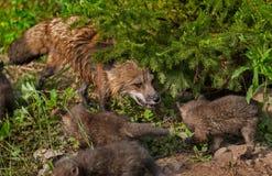 Red Fox Vixen (Vulpes vulpes) and Kits Stock Photo