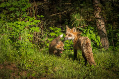 Red Fox Vixen Vulpes vulpes Looks Back with Kit Royalty Free Stock Photos