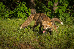 Red Fox Vixen Vulpes vulpes Messes With Kit Royalty Free Stock Image