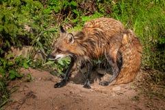 Red Fox Vixen (Vulpes vulpes) Mid Shake Stock Photos