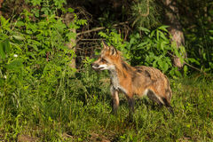 Red Fox Vixen (Vulpes vulpes) With Piece of Meat Stock Images