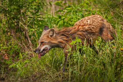 Red Fox Vixen Vulpes vulpes Runs Left With Meat. Captive animal Royalty Free Stock Photography