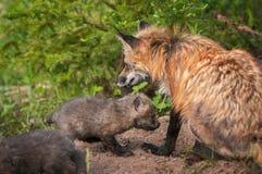 Red Fox Vixen Vulpes vulpes Sits With Kits. Captive animals Royalty Free Stock Photos
