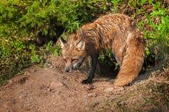 Red Fox Vixen (Vulpes vulpes) Stands Vigilant at Den. Captive animal Royalty Free Stock Photos