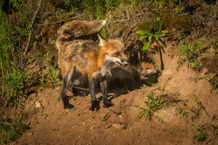 Red Fox Vixen Vulpes vulpes Tail Up with Kits in Den Royalty Free Stock Images