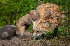 Red Fox Vixen Vulpes vulpes Turns with Kit Stock Image