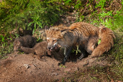 Red Fox Vixen (Vulpes vulpes) and Two of Her Kits at Densite Royalty Free Stock Photo