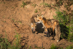 Red Fox Vixen Vulpes vulpes and Two Kits Stock Images