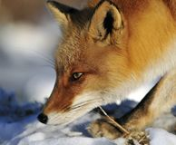 Red Fox, Vos, Vulpes vulpes. Red Fox, Vos walking in snow; Vulpes vulpes lopend in sneeuw stock photos