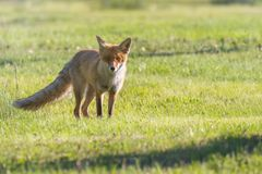 Red Fox Vulpes vulpes. Wildlife royalty free stock photos