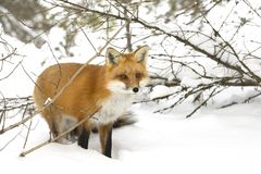 A Red fox Vulpes vulpes with a bushy tail hunting through the snow in winter in Algonquin Park, Canada stock photos
