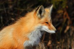 Red Fox (vulpes) Close-up Stock Image