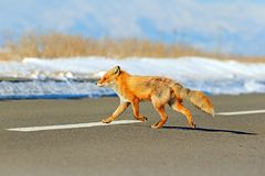 Red fox, Vulpes vulpes, crossing the road. Wildlife animal scene from nature. Urban wildlife with town and animal. Orange fox in. Winter, Japan royalty free stock images