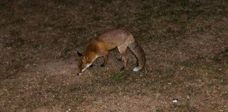 Red Fox - Vulpes vulpes Royalty Free Stock Image