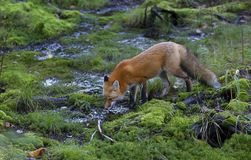 A Red fox Vulpes vulpes drinking water from a puddle in the Algonquin Park forest in Canada Royalty Free Stock Images