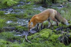 A Red fox Vulpes vulpes drinking water from a puddle in the Algonquin Park forest in Canada Stock Photos