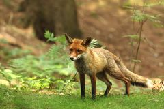 Red Fox, Vulpes vulpes, at european forest. Wildlife scene from Czech Republic. Adult red fox male in forest - Vulpes Vulpes Royalty Free Stock Photos