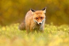 Red Fox, Vulpes vulpes in fall forest. Beautiful animal in the nature habitat. Wildlife scene from the wild nature. Fox running in. Orange and yellow autumn stock images