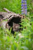 Red Fox Vulpes vulpes Kit Peeks Out From Inside Log Royalty Free Stock Image