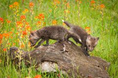 Red Fox Vulpes vulpes Kits Past on Log Royalty Free Stock Images