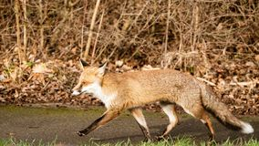 Red Fox male Vulpes vulpes royalty free stock images