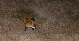 Red Fox - Vulpes vulpes  with open jaw Stock Photos