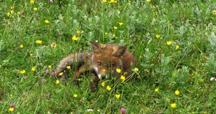 Red fox, vulpes vulpes, pup walking in meadow with yellow flowers, Normandy in France, Slow motion. 4K stock footage