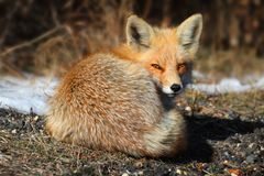 Red Fox (vulpes) Royalty Free Stock Photos