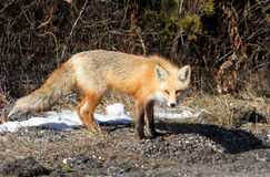 Red Fox (vulpes) Royalty Free Stock Photo