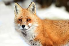 Red Fox (vulpes) Stock Image
