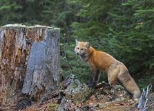 Red fox Vulpes vulpes in Algonquin Park, Canada. Red fox Vulpes vulpes with bushy tail beside tree stump in Algonquin Park, Canada stock image