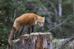 Red fox Vulpes vulpes on tree stump in Algonquin Park, Canada. Red fox Vulpes vulpes with bushy tail on tree stump in Algonquin Park, Canada royalty free stock photos